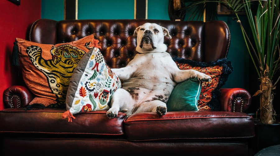 Dog on sofa with pillows